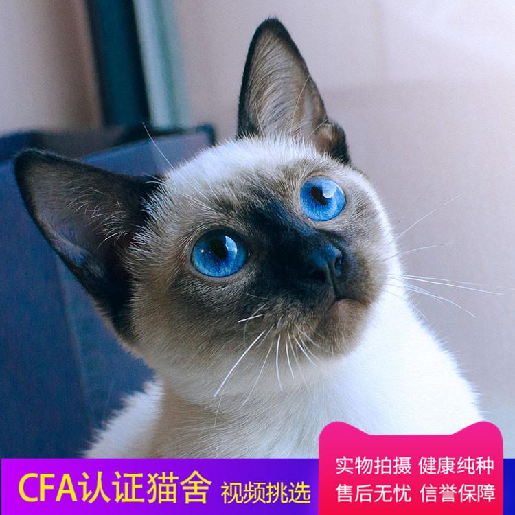 暹罗猫 纯种暹罗猫幼猫出售 网红暹罗猫小猫出售