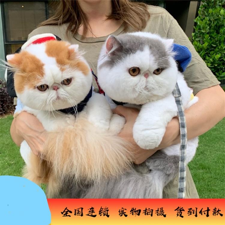 加菲猫 异国短毛猫 加菲猫多少钱 加菲猫小猫 网红加菲猫