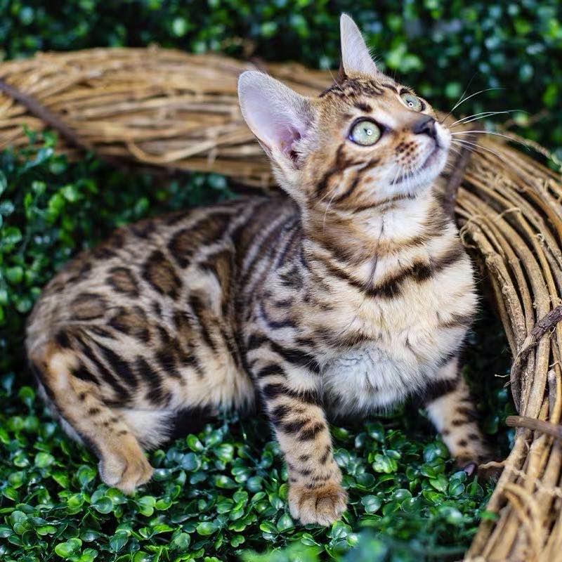 豹猫纯种孟加拉豹猫 空心大玫瑰花纹 全国发货