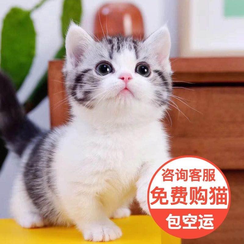网红猫 美国短毛猫 全国包邮包纯种健康