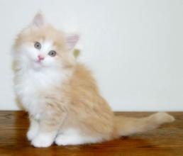 缅因猫在哪里买中山哪里有卖缅因猫