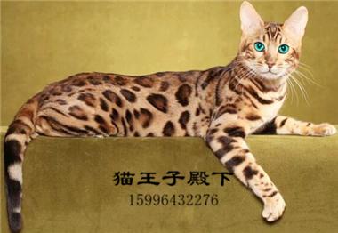 赛级孟加拉豹猫幼仔雪豹活物宠物猫幼崽猫咪活幼体猫咪