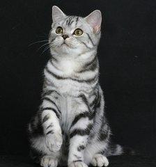 广州哪里有美国短毛猫美短加白美国短毛猫多少钱一只