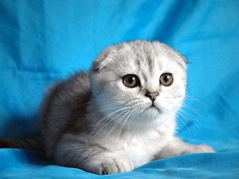 深圳哪里有卖苏格兰折耳猫?价钱一般多少?