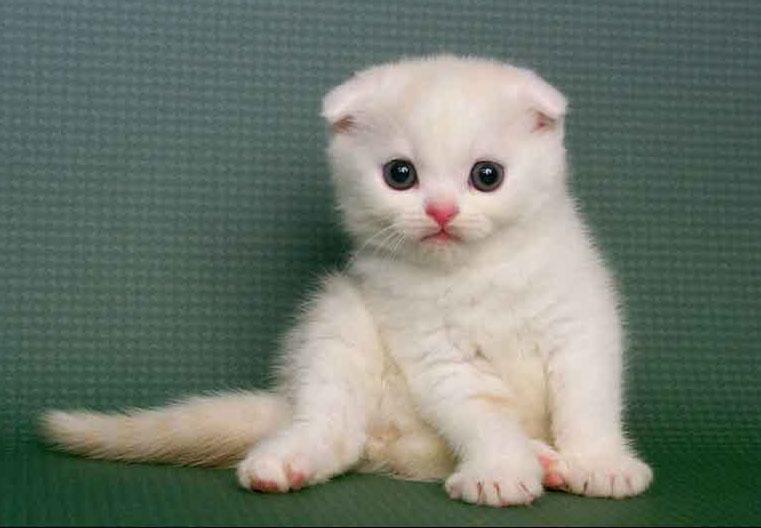 猫舍电话是多少,哪里买猫便宜又健康 佛山哪里有卖折耳猫