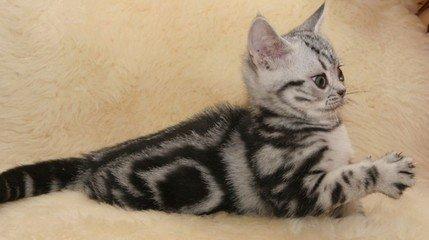 佛山哪里有美短卖 美短好养猫 美短价格