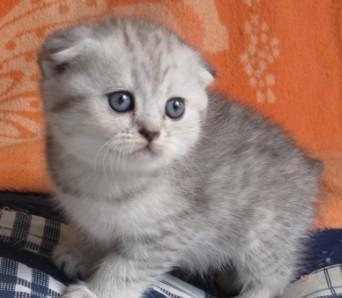 猫咪健康,有保障的广州哪里有卖折耳猫咪