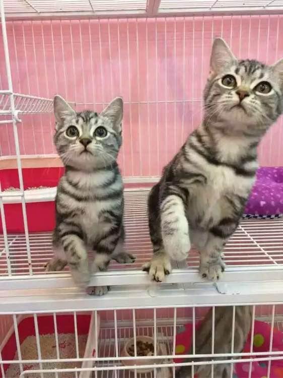美短猫舍哪家好,打齐疫苗深圳哪里有卖美短猫