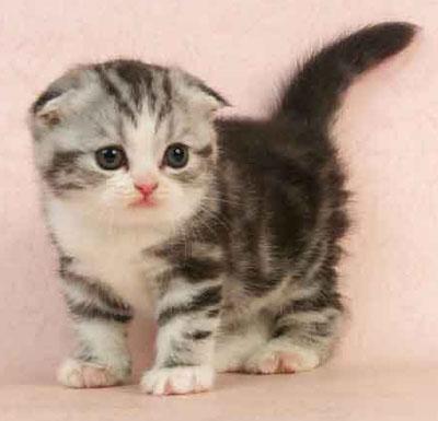 顺德市哪里有专门卖猫的店佛山哪里有卖折耳猫