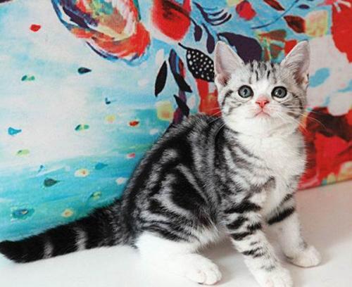 广州哪里有卖纯种美短猫虎斑猫美短加白一只多少钱
