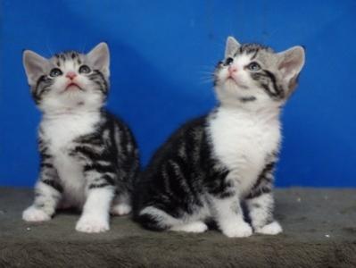 广州哪里有卖美短猫,这家猫舍是业内口碑猫舍
