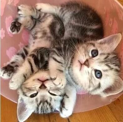 加微信为您提供实时报价,深圳哪里有卖美短猫