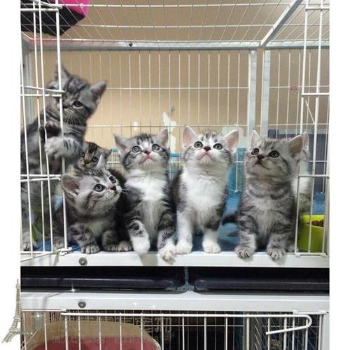 买美国短毛猫 纯种短毛猫广州哪里有卖美短猫