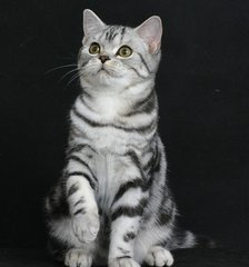 广州哪里有卖美国短毛猫,美短价钱多少