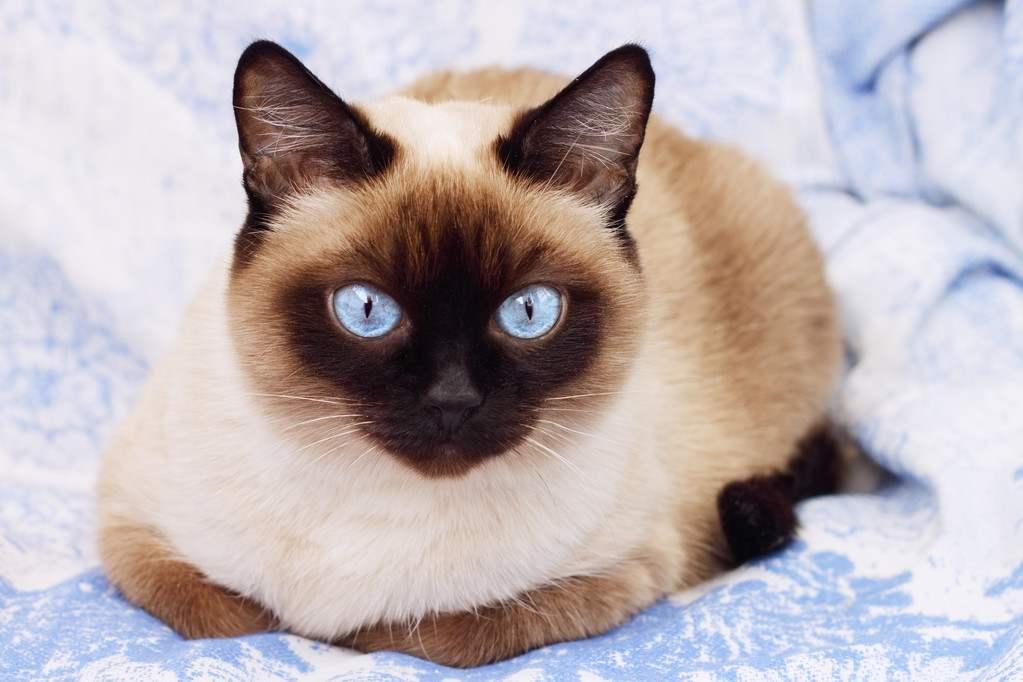 权威机构认证猫舍、专业暹罗猫培育、完美售后服务