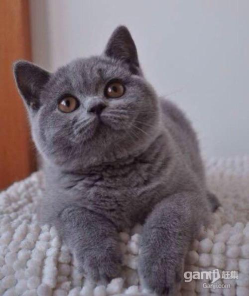 权威机构认证猫舍、专业蓝猫培育|、完美售后服务
