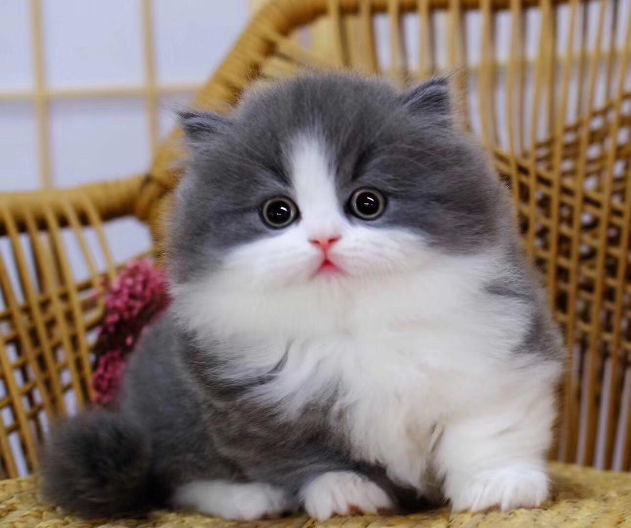 权威机构认证猫舍、专业英国短毛猫培育、完美售后服务