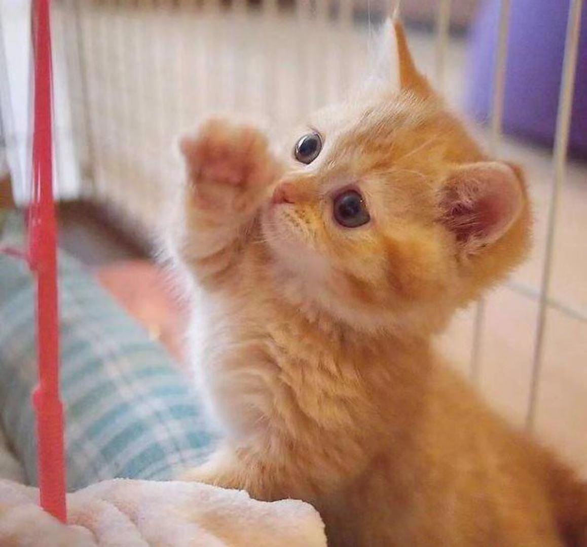 权威机构认证猫舍 专业田园猫繁殖 完美售后