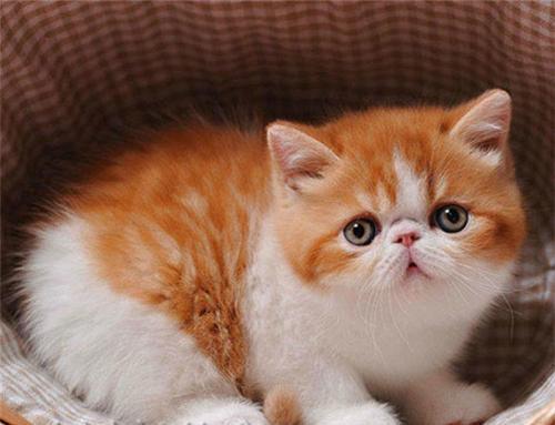 权威机构认证猫舍、专业加菲猫培育 完美售后服务