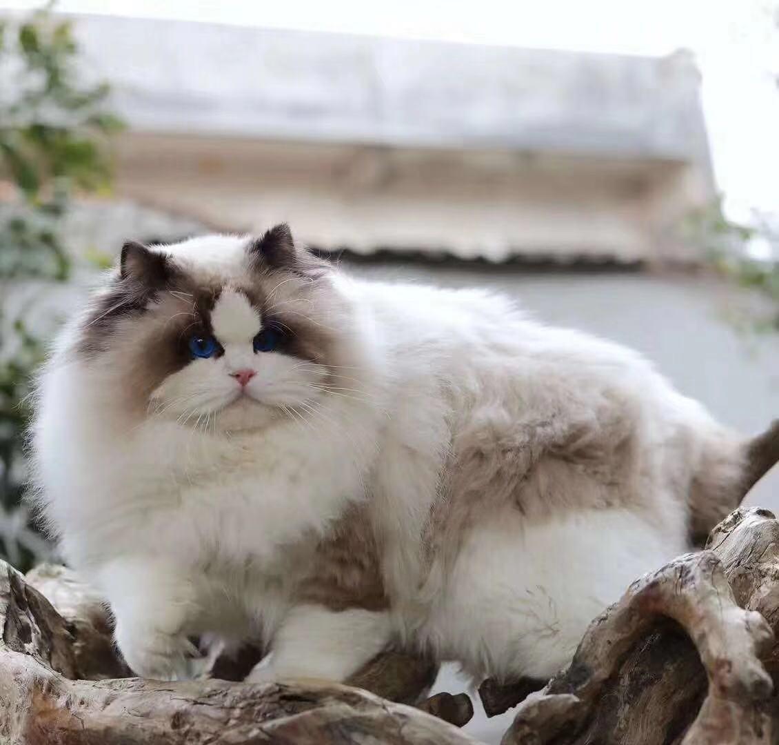 权威机构认证猫舍、专业布偶猫培育 完美售后服务