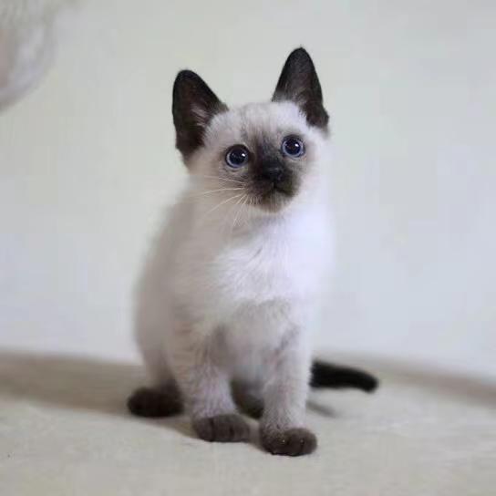 广州黑色暹罗猫哪里有暹罗猫多少钱