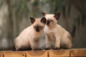 广州猫舍哪里有卖暹罗猫的 蓝眼睛