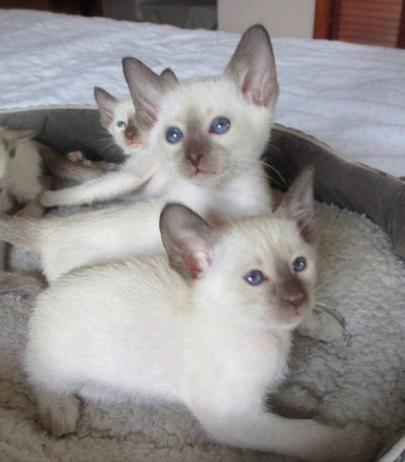添加微信看视频优惠哦中山哪里有卖暹罗猫