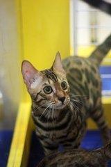 在哪里买豹猫好纯种,东莞哪里有卖豹猫