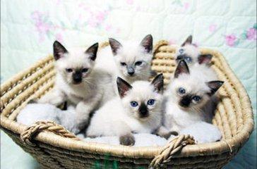 带血统暹罗猫佛山哪里有卖暹罗猫