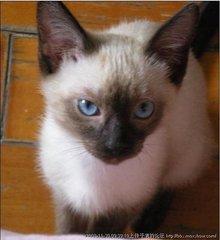 深圳哪里有卖暹罗猫,深圳哪里可以买到纯种健康的暹罗猫