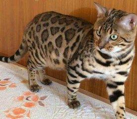 佛山哪里有卖豹猫,纯种豹猫价格