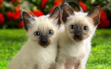 佛山哪里有卖猫猫佛山哪里有卖暹罗猫