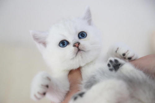深圳正规猫舍哪里有卖银渐层的银渐层猫咪价格多少钱?