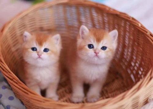 性格十分温顺、非常亲人东莞哪里有卖金渐层猫
