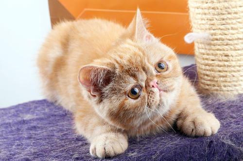 广州哪里有卖加菲猫,广州买猫的地方纯种加菲哪里买