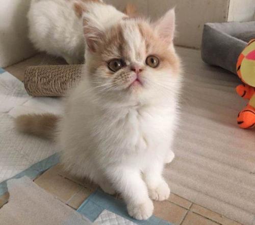 中山哪里有卖加菲猫中山哪里有卖猫咪的