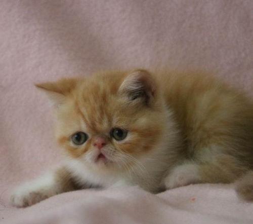 买猫 来专业猫舍广州哪里有卖加菲猫