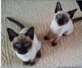 正规的,靠谱的猫舍中山哪里有卖暹罗猫