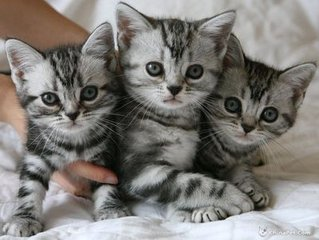 中山哪里有美国短毛猫幼猫卖 美国短毛猫多少钱