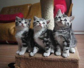美短骨骼强壮、身形匀称广州哪里有卖美短猫