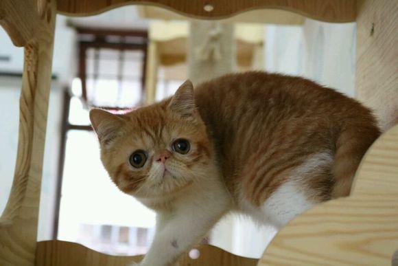 金牌卖家 放心购佛山哪里有卖加菲猫