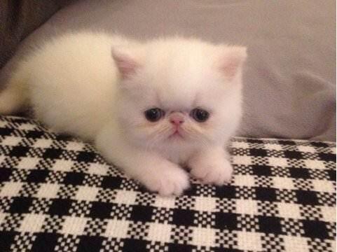 加菲猫 实体门店猫舍佛山哪里有卖加菲猫