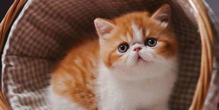 佛山哪里有卖加菲猫,猫舍在哪异国短毛猫加菲猫多少钱