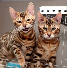 纯种豹猫哪里买好的深圳哪里有卖豹猫