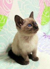 好的暹罗猫哪里买广州哪里有卖暹罗猫