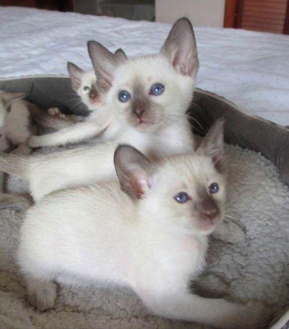 广州哪里有卖暹罗猫广州纯种大蓝眼暹罗猫