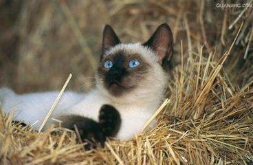 珠三角这一片暹罗猫的猫舍,东莞哪里有卖暹罗猫