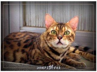 纯种豹猫广州边度买最好,广州哪里有卖豹猫