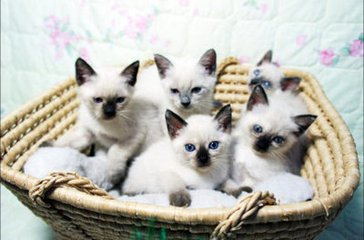 东莞哪里有卖暹罗猫价格是几多钱啊