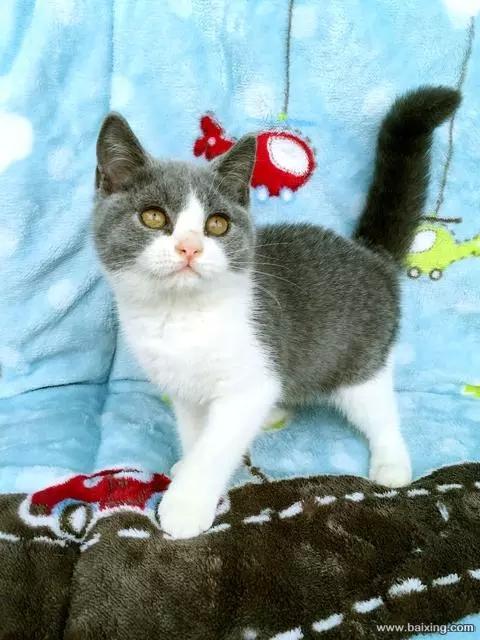 东莞哪里有卖蓝白猫,这种蓝白多少钱买英短蓝白猫